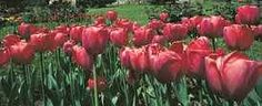 Tulips are Turkish !   1-30 April is Tulips Festival in Istanbul