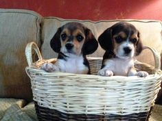 Beaglier Puppies= Beagle and Cavalier mix, so cute---I want one!!!