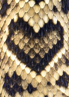 Crotalus adamanteus (captive), Eastern Diamondback Rattlesnake, aberrant marking by Brad Wilson, DVM, via Flickr