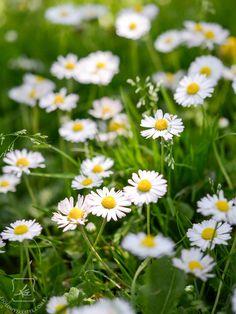 Fairy Garden Plants, Birth Flowers, Unique Flowers, Nature Scenes, Chrysanthemum, Blog, Healthy Living, Wall, Allergies