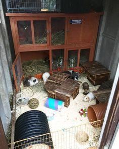 Clean shed ! Indoor Guinea Pig Cage, Rabbit Shed, Rabbit Enclosure, Pet Shed, Pig Pen, Cute Piggies, Rabbit Hutches, Hamsters, Pet Stuff
