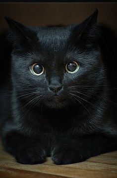 Intense stare from a black cat. Animals like cats and wolves, look straight into your soul. Baby Animals, Cute Animals, Animals And Pets, Wild Animals, I Love Cats, Crazy Cats, Beautiful Cats, Animals Beautiful, Groucho Marx