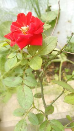 Flor jardim rosa vermelha