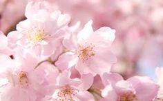 「桜」の画像検索結果