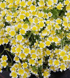 "Limnanthes douglasii ""Meadow Foam"" - Buy Online at Annie's Annuals Greenhouse Gardening, Container Gardening, Alpine Garden, Backyard Plants, Coastal Gardens, Color Combos, Perennials, Wild Flowers, Bloom"