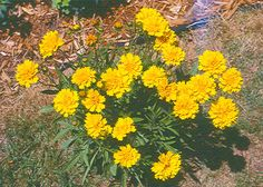 """Early Sunrise Coreopsis-Winner of Gold medals in America and Europe. Superb in the border and heat tolerant. Golden yellow, semi-double flowers on 20"""" stems. Long blooming from early summer into fall. Coreopsis are easy to grow, neat compact plants. Prolific sunny yellow blooms are sure to catch your eye as you stroll through the garden.  All-American Selections Award Winner 1989. - See more at: http://www.bluestoneperennials.com/COES.html#sthash.YrggjaDb.dpuf"""