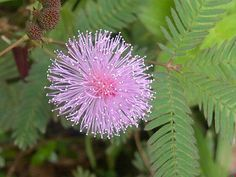 Mimosa Pudica, Sensitive Plant, leaves close and fold up if plant is touched or…