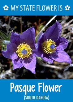 southdakotas state flower is the pasque flower whats your state flower http
