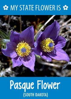 #SouthDakota's state flower is the Pasque Flower. What's your state flower? http://pinterest.com/hometalk/hometalk-state-flowers/