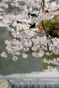 Spring Katsuragawa-River. Japan, Kyoto.  Photographer Shigenori Imafuku.