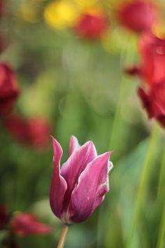 ...  świat wokół mnie   ...: ... sezon tulipanowy w pełni ...