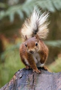 Inquisitive Red Squirrel - photo by Roger Stelfox