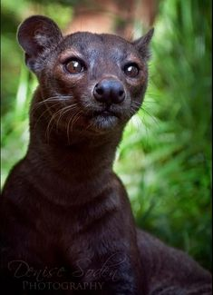 A Fossa:  Related to The Mongoose. The animal is unique to the Forests of Madagascar, (A Large African island in The Indian Ocean.) The elusive Fossa is a solitary animal and spends its time both in the trees and on the ground. It is active, not only at night, but also during the day. (Photographer: Denise Soden,)