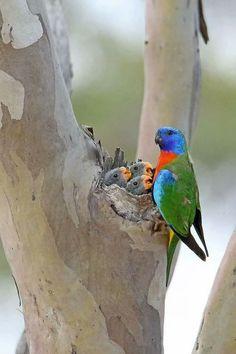 Rainbow Lorikeet feeding babies. Australian birds.
