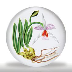 Chris Buzzini 1987 Artist Proof arcing orchid and roots paperweight. A large, graceful orchid, with three spiraling white petals, two magenta stained petals and a pale tongue against which hang two crimson and yellow stamens, leans heavily to the right, delicately balanced by a companion bud, as it springs from an exposed root system along with five long, striped green leaves, over clear ground. Signature/date cane. Signed/dated. Diameter 3""