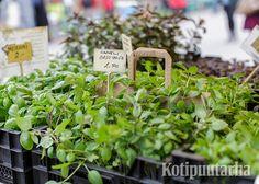 Kotipuutarha VERSOOo 2016 Parsley, Herbs, Plants, Herb, Plant, Planets, Medicinal Plants