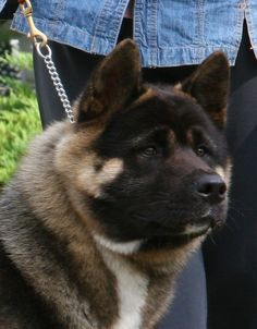 zander--TYlin Akitas. One of the most striking looking akitas I have ever seen.