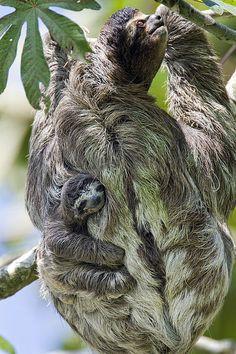 Brown-throated Three-toed Sloth Print By Suzi Eszterhas