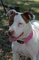 Macha - located at CANYON LAKE ANIMAL SHELTER SOCIETY in Canyon Lake, TX - Adult Female Staffordshire Terrier/ Staff Bull Mix