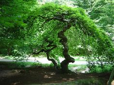 """... Aller voir Les """"Faux """" de Verzy en automne - Parc Naturel Régional de la Montagne de Reims"""