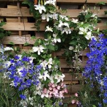Baumschule Horstmann blauregen glyzine wisterie chinesischer blauregen wisteria