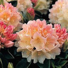 rhododendron - golden torch