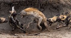 This Hyena Was Cornered By A Pack Of Wild Dogs, But What It Does Next Is Genius-Fuzzfix