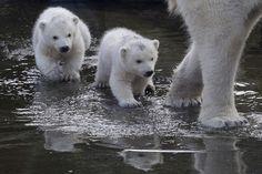 Dos osos polares siguen a su madre, es la primera vez que salen de sus recintos desde que nacieron en el Zoológico de Ouwehands en Holanda. (AP)