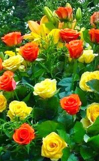 Roses Jaunes et Oranges,,j'adore ** Most Beautiful Flowers, My Flower, Pretty Flowers, Beautiful Gardens, Simply Beautiful, Yellow Roses, Red Roses, Rosa Rose, Deco Floral