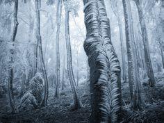Wind Swept Frost Blankets Tree Trunks in a Czech Forest