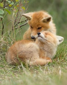 Two red fox cubs give each other a hug.