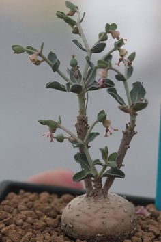 Euphorbia globulicaulis