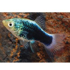 Dwarf gourami petsmart tropical passive bottom swimmers for Petsmart live fish