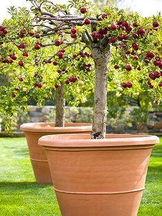 Whether you call them dwarf miniature or patio-size dwarf fruit trees are the perfect size for many planting locations. Whether you call them dwarf miniature or patio-size dwarf fruit trees are the perfect size for many planting locations. Container Gardening, Plants, Herbs, Growing Fruit, Fruit Garden, Gardening Tips, Organic Gardening, Fruit Trees, Potted Trees