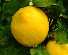 How to Grow Lemon Trees Indoors From a Lemon Seed
