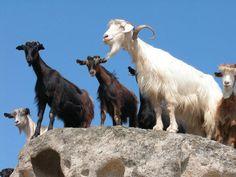 Τα είδη των κατσικιών Goats, Animals, Animales, Animaux, Animal, Animais, Goat