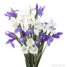 GrowersBox.com: Flowers: Iris 100 Stems: Wholesale Flowers
