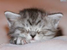 kotek szary - Szukaj w Google