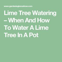 Lime Tree Watering – When And How To Water A Lime Tree In A Pot