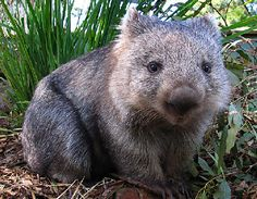 haha love wombats--especially when one of my nicknames is wombat
