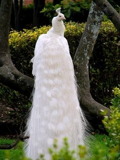 """wallacegardens: """" The White Peafowl (not a """"white peacock"""") is actually a genetic variant of the India Blue Peafowl, which is a member of the Pheasant family. White Peafowl have blue eyes (whereas. Pretty Birds, Love Birds, Beautiful Birds, Animals Beautiful, Cute Animals, Beautiful Things, Pavo Real Albino, Albino Peacock, Male Peacock"""