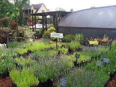 Lavender at Red Ridge Farms has a delightful nursery where you can buy most of they plants in their beautiful knot garden.