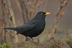 Blackbird (Merel - Turdus merula) by Leo Kruders on 500px