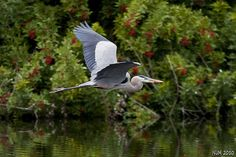 Great Blue Heron Flying  Over Rookery- Florida by PictureOnTheWall, via Flickr