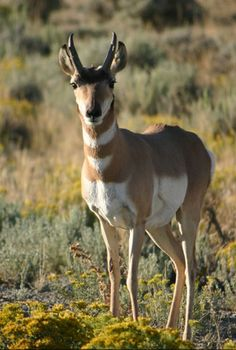 A Wyoming pronghorn, one of the animals affected by fracking near national park land. Photo © Angela Cable/iStockphoto.