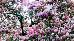 Vancouver's Blossoming Trees ... My Fav are the Stunning Tulip Magnolias! http://www.robynsong.com