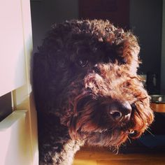Hoppe, our cute Australian Labradoodle