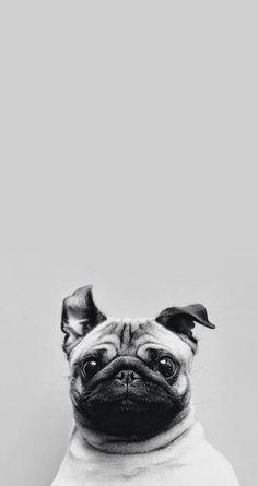 #Fondos #iPhone #Wallpaper #Pug.