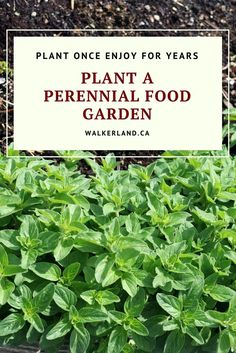 Plant a perennial food garden! When it comes to establishing a self sufficient food landscape, perennial vegetables should not be overlooked. It quite exciting when food starts popping up out of the ground in early spring, with no effort on your part. Edible perennials are hardy, reliable food crops that need very little care and attention. Learn about some of the best perennial edibles for your garden and how to plant them.