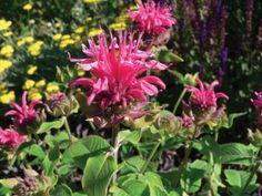 2 planted near gardenias.    'PINK LACE' BEEBALM  Monarda didyma 'Pink Lace'